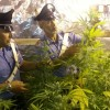 In manette un 37enne coltivatore di Marijuana