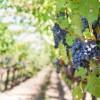 Rilancio del settore vitivinicolo, nuovi fondi per investire