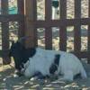 Una capra in spiaggia: accade a Lavinio