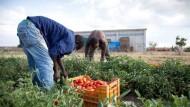 Latina, blitz della Polizia in un'azienda agricola: 84 indiani senza protezioni.