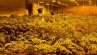 Aprilia:operazione antidroga, 512 piante di marijuana sequestrate e due arresti.