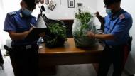 Campoverde, Aprilia : piante di marijuana in giardino, arrestate due persone.