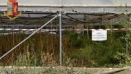 Scoperta piantagione marijuana tra Aprilia e Lanuvio: 2 denunce.