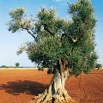 L'Olivo e le piante stagionali invernali
