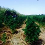 Trovata piantagione di marijuana