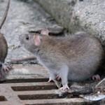 Ancora ratti al centro di Aprilia