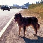 Vagava per la Pontina, salvato cane dalla municipale