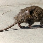 """La Destra Sociale denuncia: """"I topi girano indisturbati in città""""."""