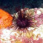 Un riccio di mare per la difesa dell'ambiente e dell'uomo