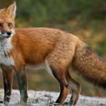 Riparte la stagione della caccia alla volpe