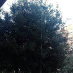 APL chiede di sveltire le operazioni di potatura a Toscanini