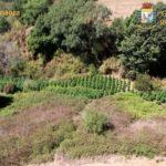 Trovate a Nettuno 550 piante di marijuana