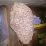 Magazzino infestato dai calabroni, rimosso enorme nido dai Vigili del Fuoco