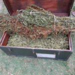 Sequestrata piantagione di marijuana a Latina Scalo: 78 le piante rinvenute dai Carabinieri