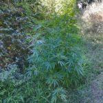 Aprilia, coltivava marijuana: denunciato un 39enne di Anzio.