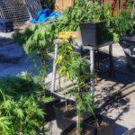 24 chili di piante di marijuana sequestrate dalla GdF ad Aprilia.