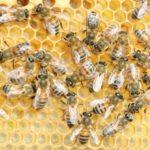Agricoltura: 200milla Euro per la commercializzazione dei prodotti dall'apicoltura.