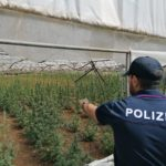 Aprilia, scoperta una piantagione di marijuana: due denunce.